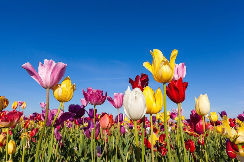 Close up colorful tulips in tulip field, Homeowners' DIY HVAC Maintenance To Stay Cool All Summer